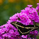 Butterfly & Phlox by debfaraday