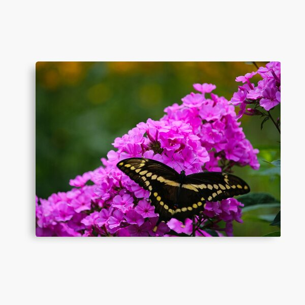 Butterfly & Phlox Canvas Print
