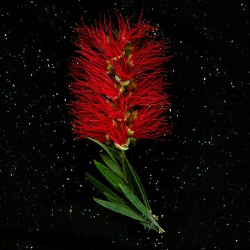 Flowers from Heaven: Bottlebrush by KirstenSpry