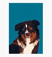 Australian Shepherd Photographic Print