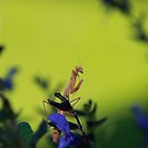 Praying Mantis by blew12bandit