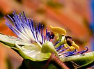 Passion Flower by George Parapadakis (monocotylidono)
