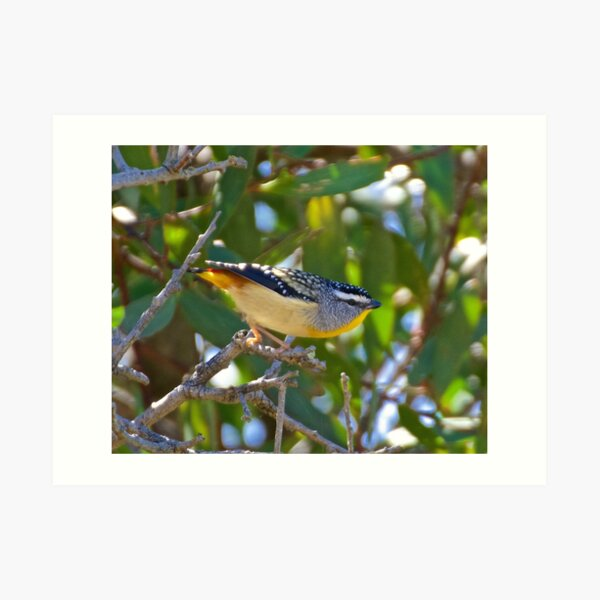 Spotted Pardalote Art Print