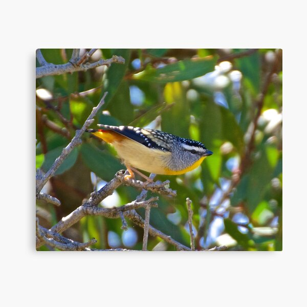 PARDALOTE ~ Spotted Pardalote ipqVrRmx by David Irwin Canvas Print