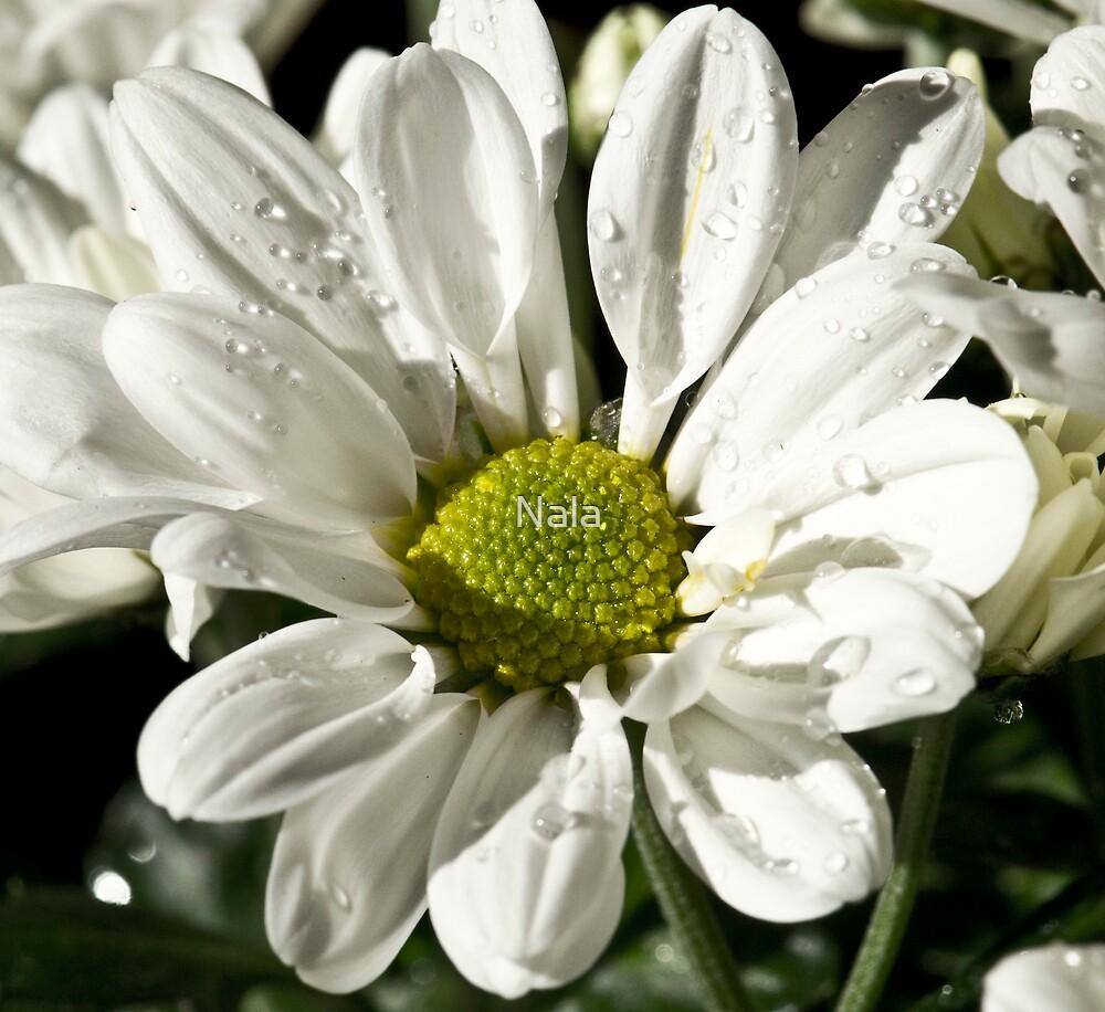 British Chrysanthemum2 by Nala