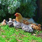 Briars Chickens by Peter Krause