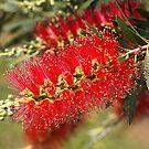 Australian Red Bottlebrush Flowers by Joy Watson