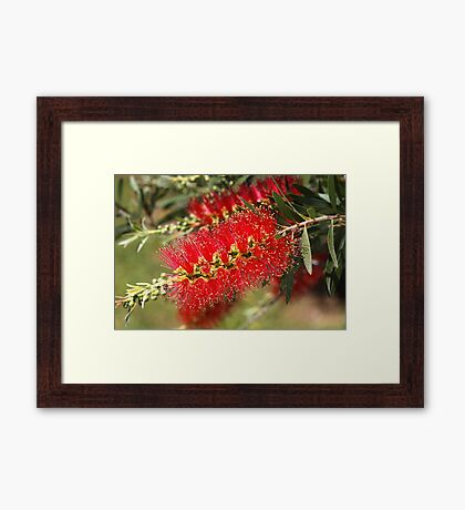Australian Red Bottlebrush Flowers Framed Print