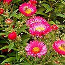 Rose flowers by Alojzy