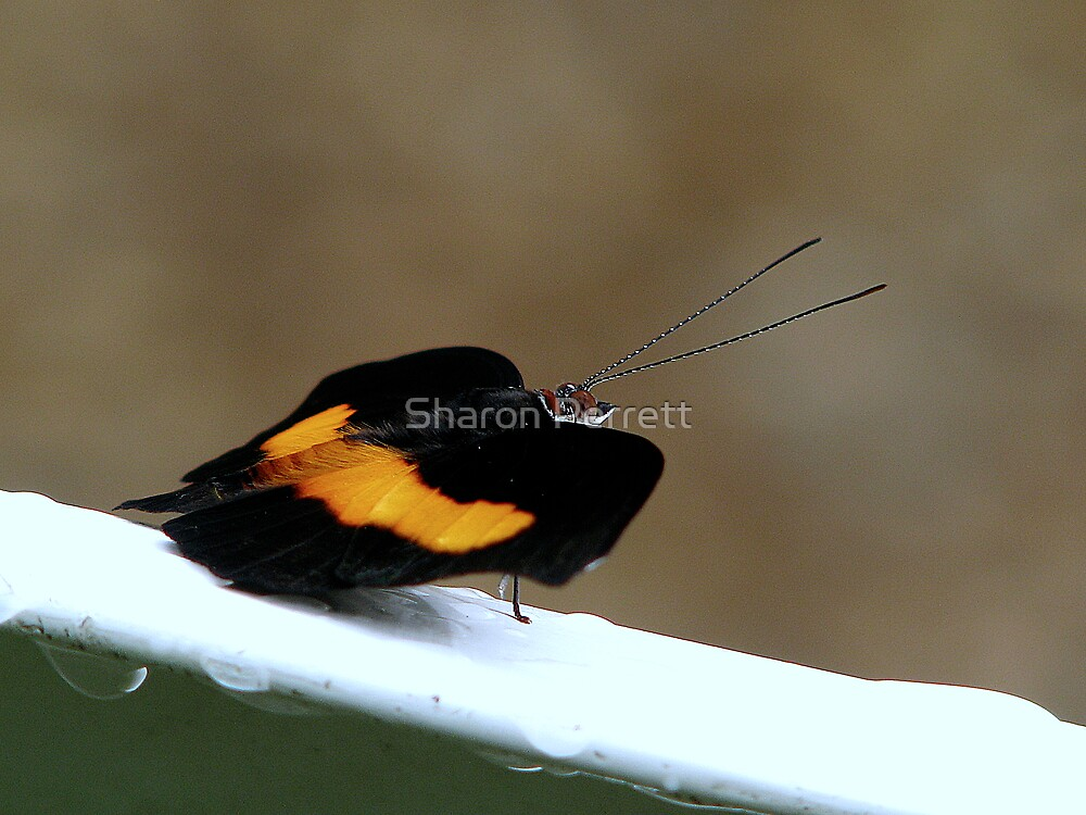 East-Mexican Banner Butterfly - Catonephele mexicana  by Sharon Perrett