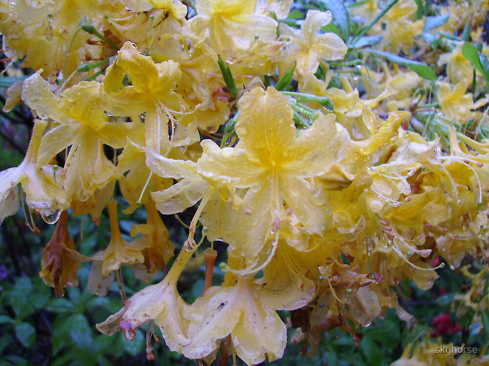 Yellow Blooms in Rain by skyhorse