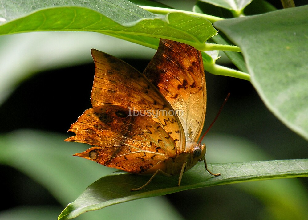 leaf-like butterfly by 1busymom