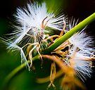 Dandelions by George Parapadakis (monocotylidono)