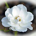 White Rose...........Lyme Dorest UK by lynn carter