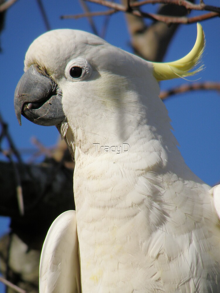 Cockatoo 2 by TracyD