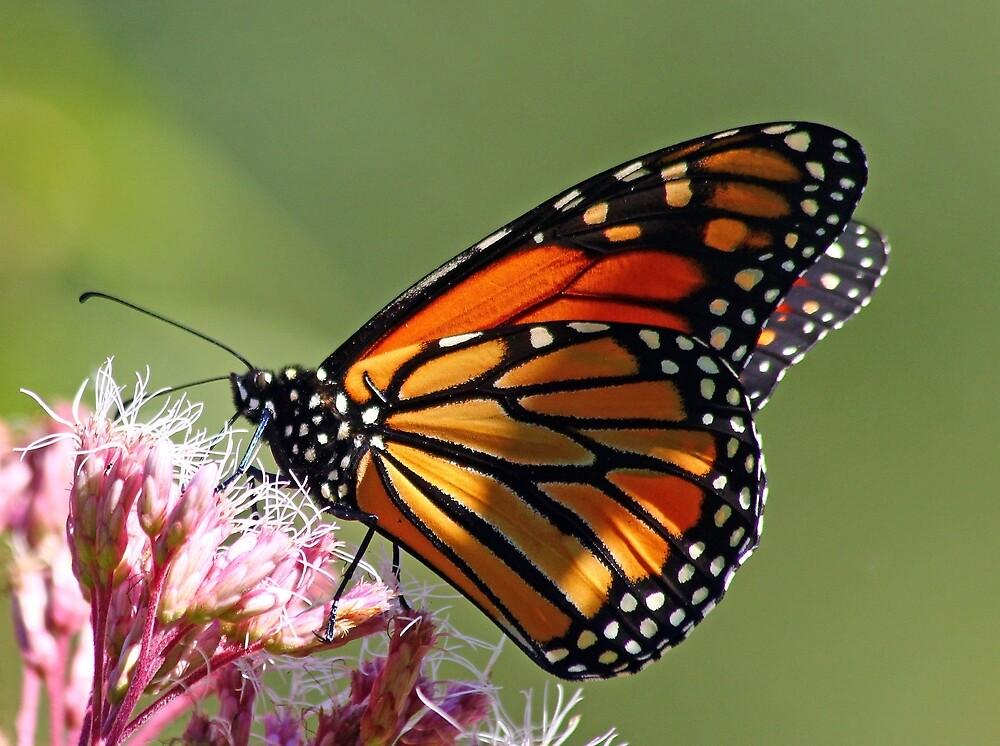 Monarch And Milkweed by Debbie Oppermann