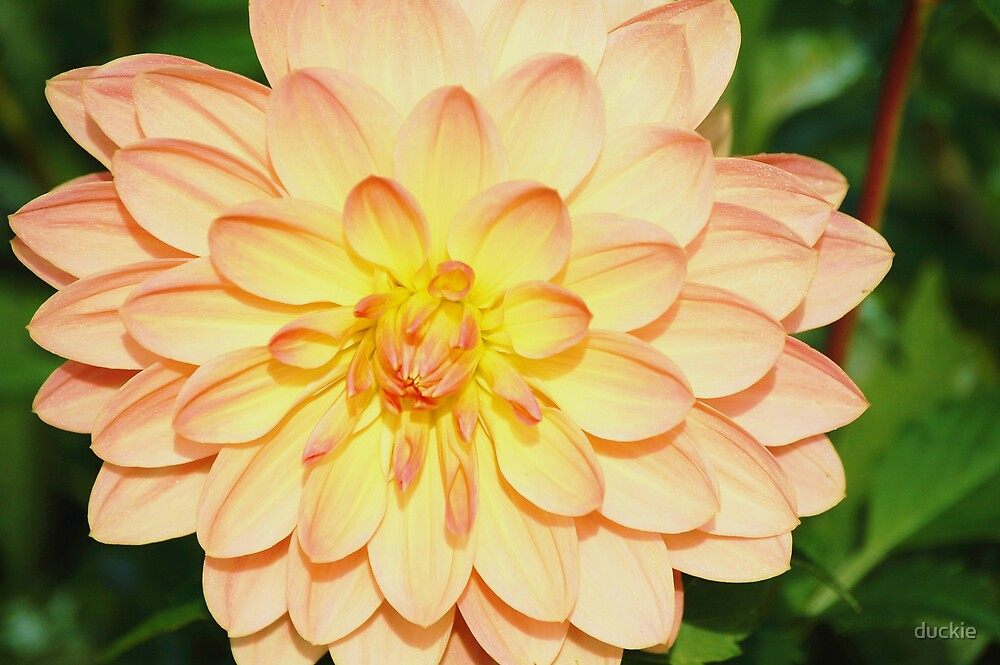great dahlia by duckie