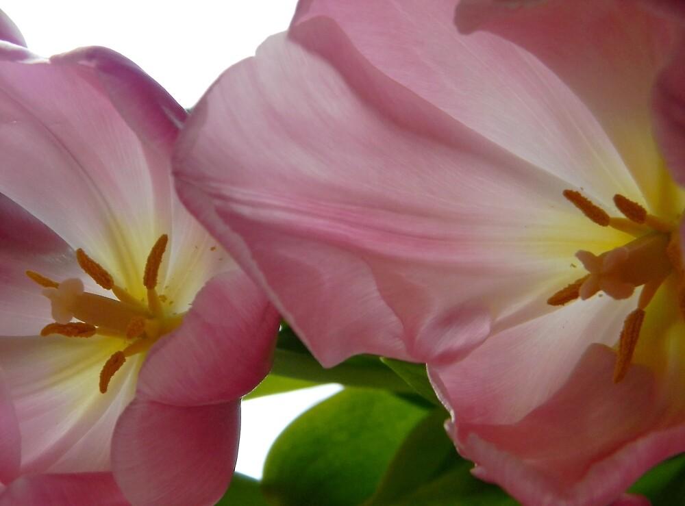 Fading Pink Tulips by Debbie Oppermann