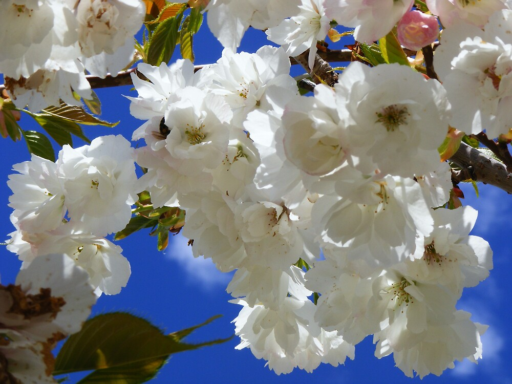 spring blossoms and blue sky - beautiful by gaylene