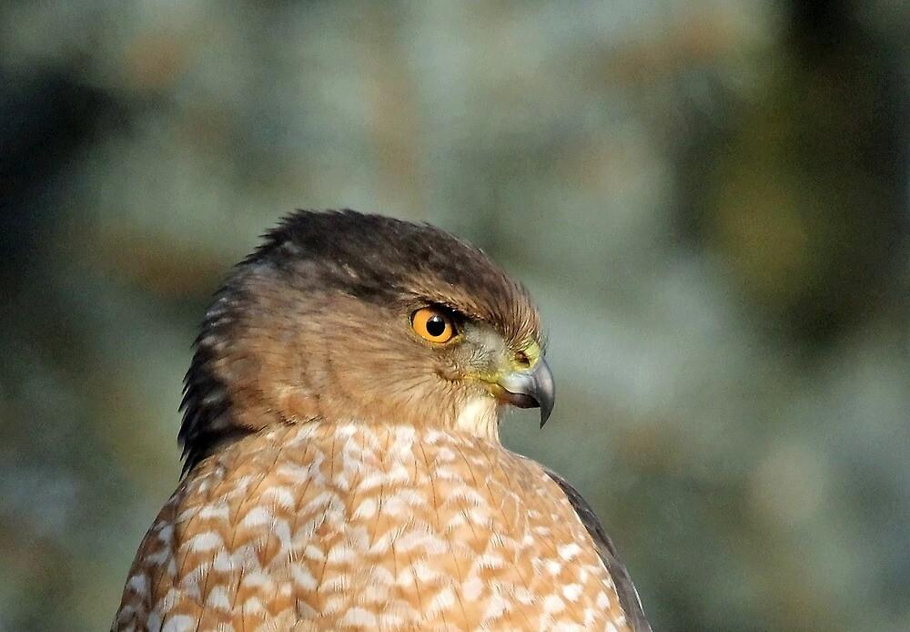 Focused Coopers Hawk by Debbie Oppermann