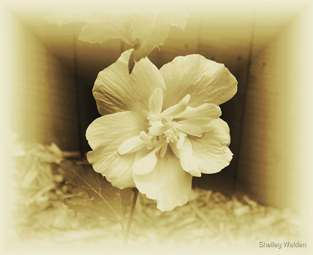 Adulterated Sepia by Shelley Walden