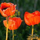 Sunset Poppies by Debbie Oppermann