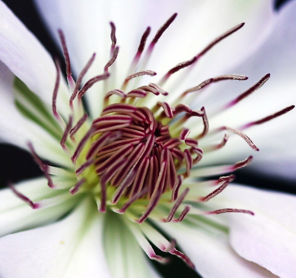 Classic White Clematis by Debbie Oppermann