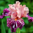 She's A Lady - Iris by Debbie Oppermann