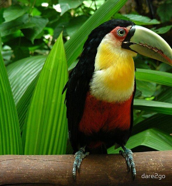 Toucan by dare2go