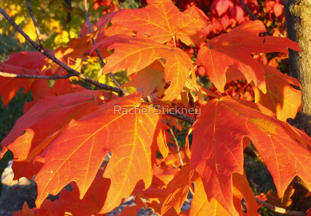 October Glory by Rachel Stickney