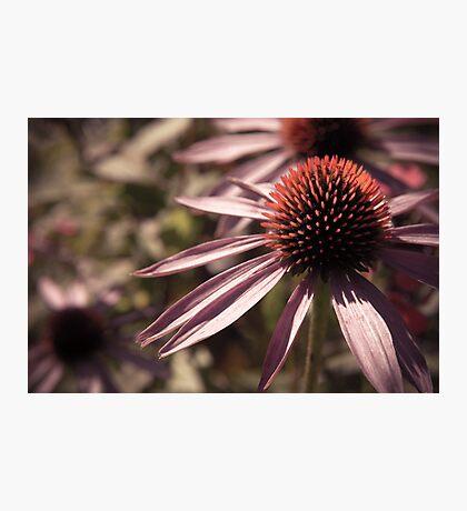 Faded Petals Photographic Print