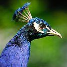 Peacock by John Kelly Photography (UK)