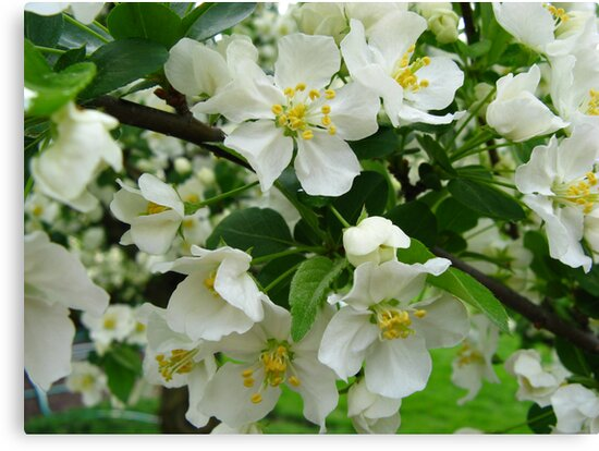 White Crabapple Blossoms by Rachel Stickney
