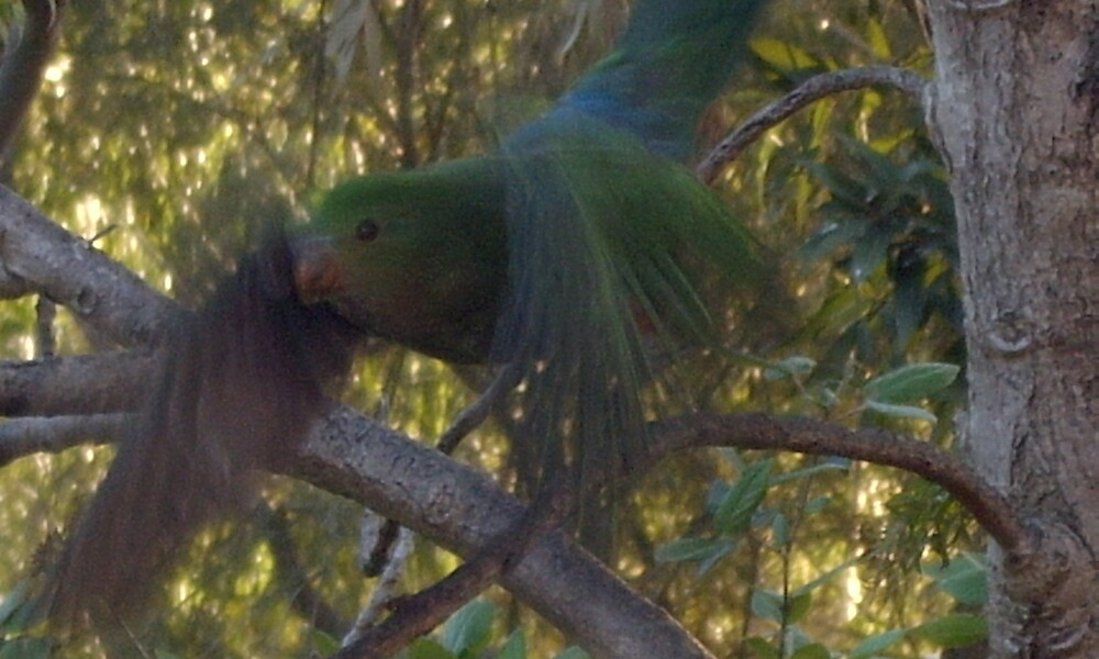 king parrot takes off by marianneke