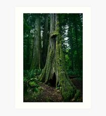 Ancient Douglas fir trees in Cathedral grove forest of MacMillan Provincial Park Vancouver Island art photo print Art Print