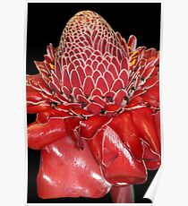 Torch Ginger Poster