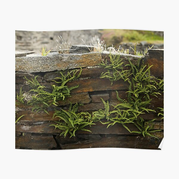 Spleenwort Maidenhair fern on wall at Cashelnagor Poster