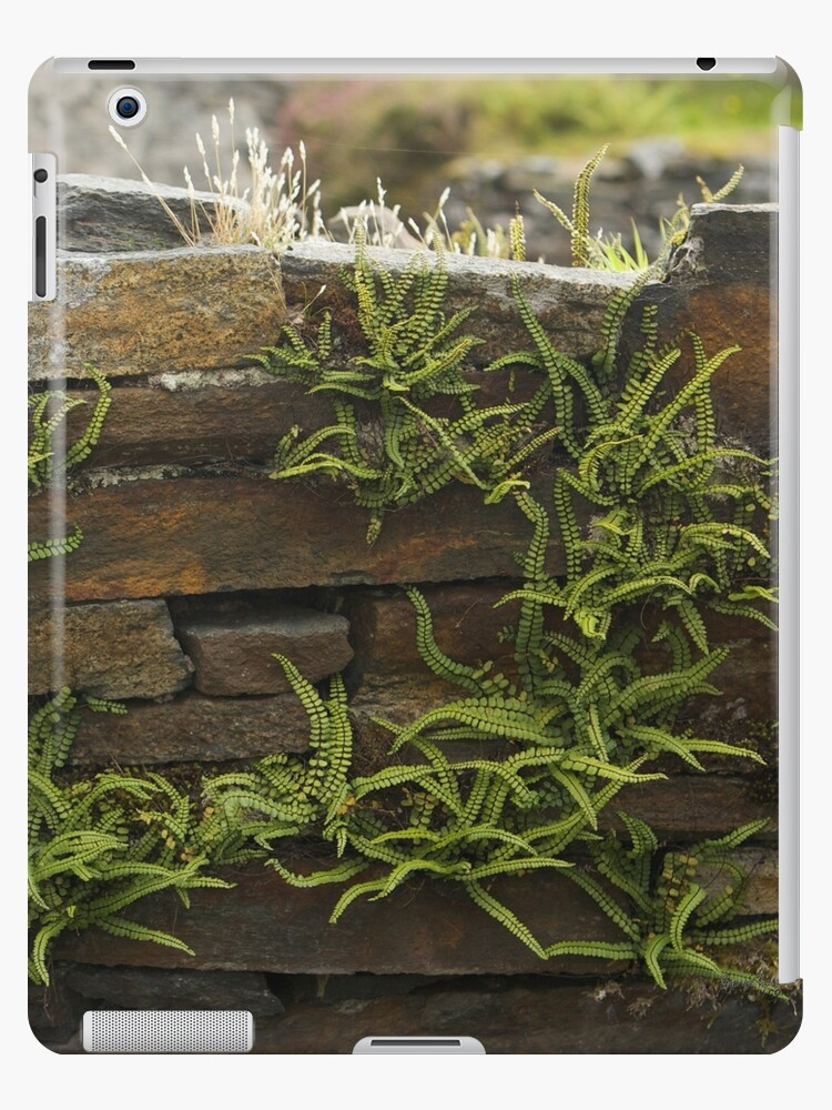 Spleenwort Maidenhair fern on wall at Cashelnagor by George Row