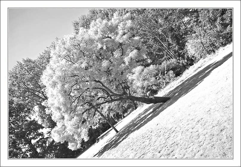 leaning tree by alanoluain