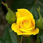 A Rose between two buds......!! by Roy  Massicks
