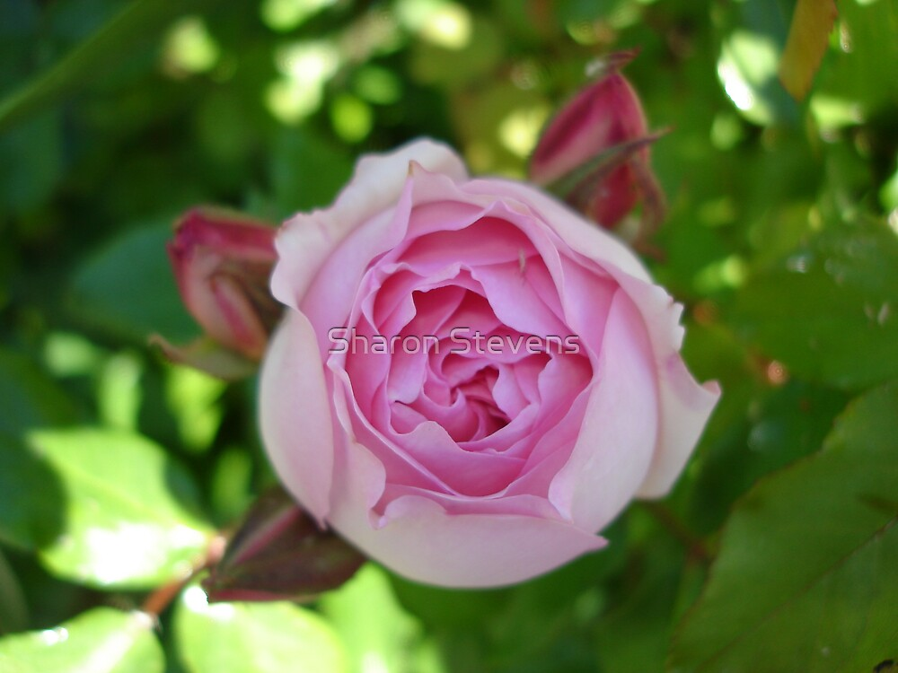 Pretty in Pink by Sharon Stevens