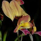 Diuris sp aff longifolia by Colin12