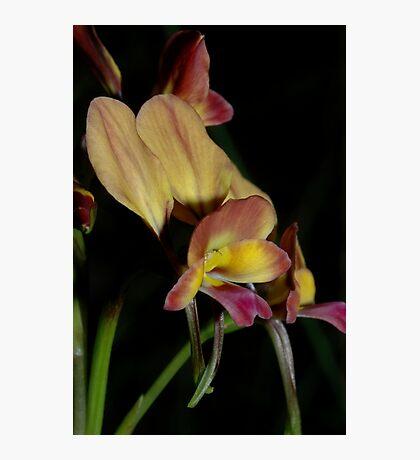 Diuris sp aff longifolia Photographic Print