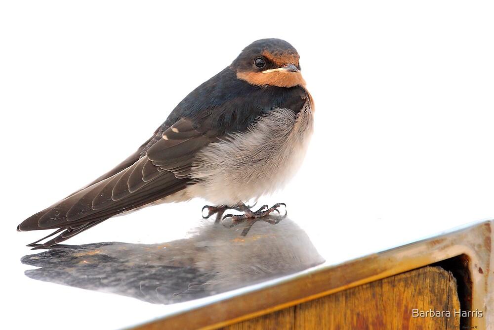 Juvenile Welcome Swallow-4746 (Hirundo neoxena) by Barbara Harris