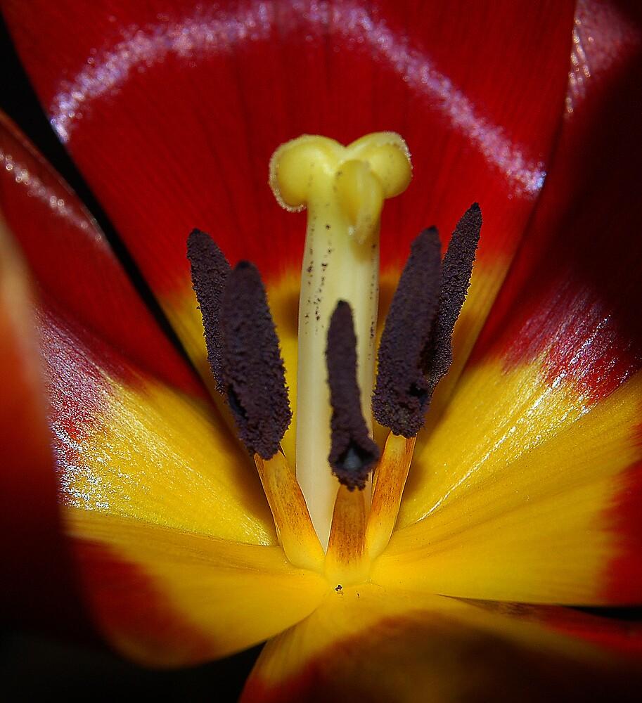 Tulip by Phiggys