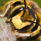 Wool Carder Bee (Anthidium manicatum) by André Gonçalves