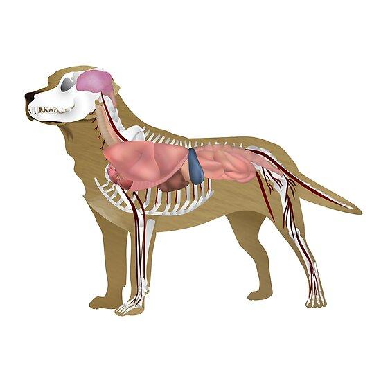 Pósters «Ilustración del perro - Anatomía de Labrador» de Inoel R ...
