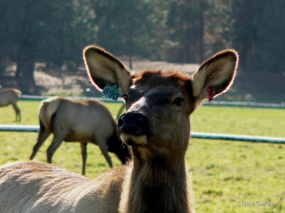 Cow Elk  #890 by Chuck Gardner