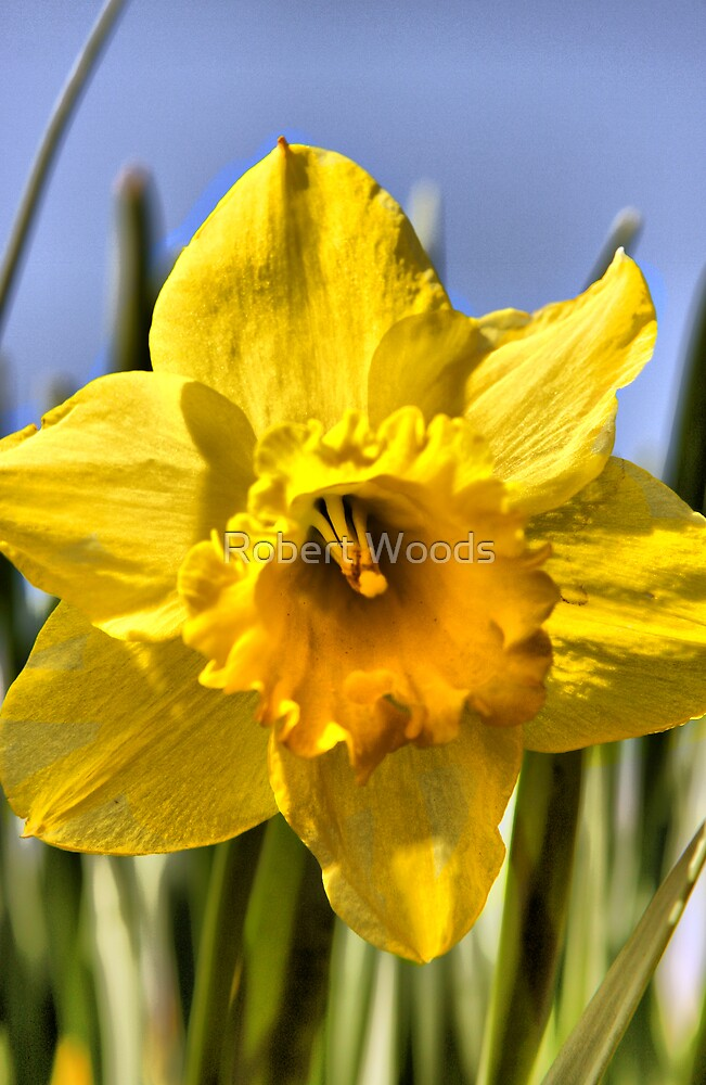 Dafodil by Robert Woods