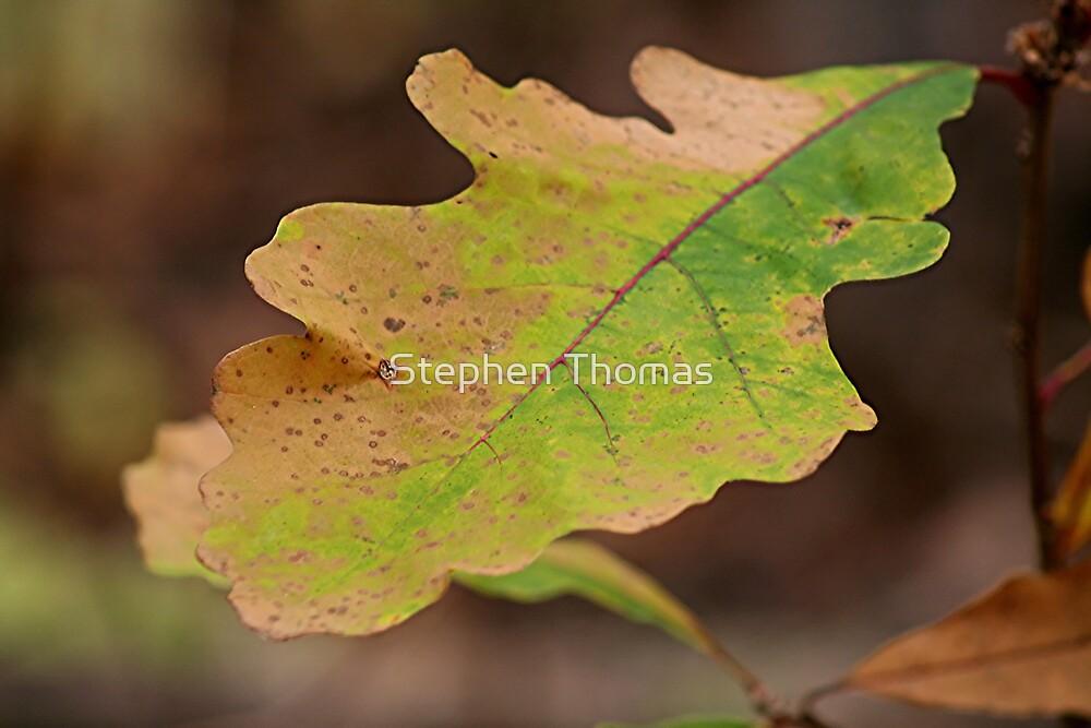 Multi Colored Oak Leaf by Stephen Thomas